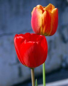 Free Tulips Royalty Free Stock Photos - 2244598