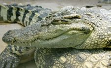 Free Siam Crocodile 8 Stock Images - 2244814