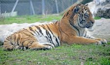 Free Amur Tiger 4 Stock Image - 2244851