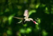 Free Hummingbird Stock Image - 2244951