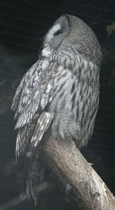 Free Great Grey Owl 1 Royalty Free Stock Images - 2245539