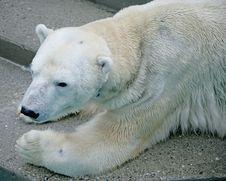 Free Polar Bear 1 Royalty Free Stock Photography - 2245657