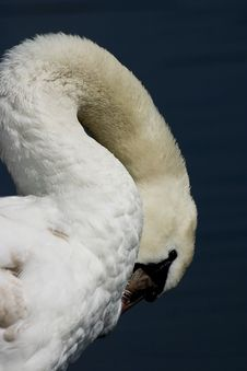 Detail Of Shy Swan Royalty Free Stock Photography