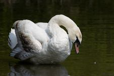 Free Shy Swan Stock Images - 2245874