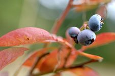 Free Blueberries Stock Image - 2246151