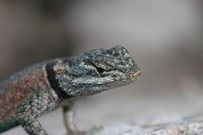 Free Spiny Lizard Stock Photography - 2246722