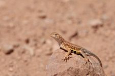 Free Earless Lizard Royalty Free Stock Photos - 2246748