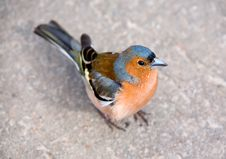 Free Chaffinch Royalty Free Stock Photo - 2247295