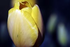 Free Yellow Tulip Royalty Free Stock Images - 2247509