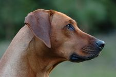 Rhodesian Ridgeback Royalty Free Stock Images