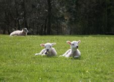 Free Two Lambs Royalty Free Stock Images - 2248349
