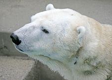 Free Polar Bear 5 Stock Photo - 2249360