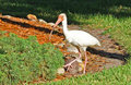 Free Tropical Egret Herring Bird Poses Stock Image - 22407391