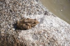 Free Frog On A Stone Royalty Free Stock Photo - 22403035