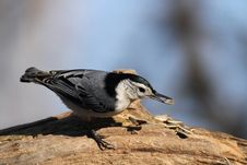 Free White Breated Nuthatch Royalty Free Stock Photo - 22405175