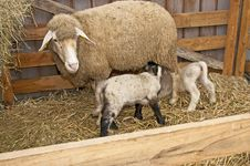 Free Sheep With Lamb Royalty Free Stock Photos - 22408008