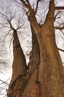 Free An Old Tree Royalty Free Stock Photos - 22413738
