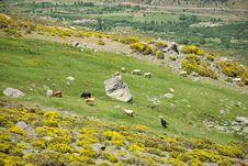 Free Livestock At Gredos Mountains Royalty Free Stock Images - 22417199
