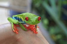 Free Red Eyed Tree Frog Royalty Free Stock Photo - 22418275