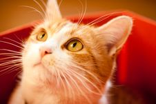 Free Ginger Cat. Royalty Free Stock Photography - 22419677