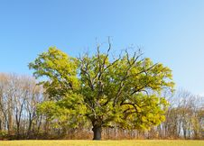 Single Oak Tree In The Autumn Glade Royalty Free Stock Photography
