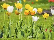 Free White And Yellow Tulips Royalty Free Stock Images - 22424949