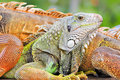 Free Colorful Lizard Detail Royalty Free Stock Photo - 22432905
