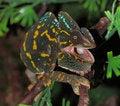 Free Chameleon Royalty Free Stock Photography - 22437257