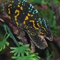 Free Chameleon Stock Photos - 22437293