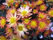 Free Spoon Mum Flower Background Stock Photos - 22432073