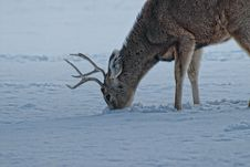 Foraging Deer Royalty Free Stock Photography