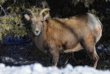 Free Mountain Sheep Stock Images - 22432854