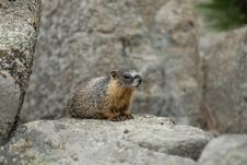 Free Colorado Marmot Royalty Free Stock Images - 22432869