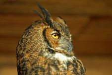 Free Horned Owl Stock Image - 22432881