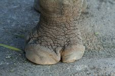 Rhinoceros Foot Stock Photo