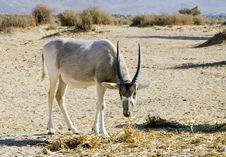 Free Arabian Antelope In Hai-bar Nature Reserve, Israel Royalty Free Stock Images - 22436679