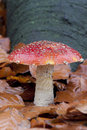 Free Red Cap Toadstool Stock Photography - 22448422