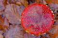 Free Red Cap Toadstool Royalty Free Stock Photos - 22448438