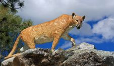 Free Almost A Cougar Stock Image - 22449151