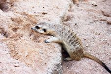 Free Meerkat In The Zoo Stock Image - 22452351