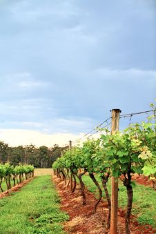 Free Grape Vines In A Vineyard Stock Photos - 22454293