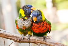 Rainbow Lorikeets Preening Stock Photo