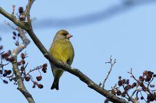 Free Greenfinch Bird. Stock Photos - 22458253