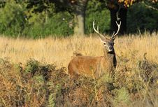 Free Red Deer Stag Royalty Free Stock Image - 22459906