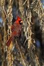 Free Northern Cardinal (Cardinalis Cardinalis) Stock Images - 22460924
