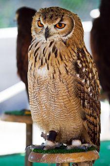 Free Wild Owl Orange Eyes Stock Photo - 22460530