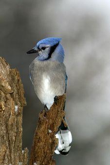 Free Blue Jay (Cyanocitta Cristata) Stock Images - 22460944