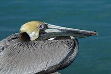 Free Brown Pelican (Pelecanus Occidentalis) Royalty Free Stock Photography - 22461007