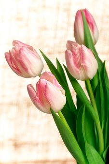 Free Beautiful Pink Tulips, Closeup Shot Royalty Free Stock Photography - 22466127