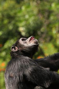 Free Chimpanzee Royalty Free Stock Images - 22471849